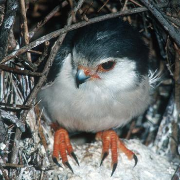 This pygmy falcon is hanging out on its nest.