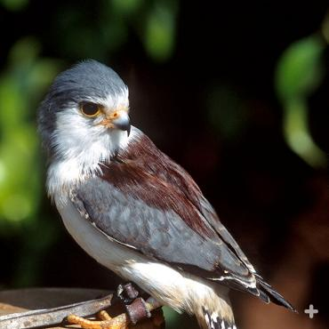 Animal ambassadors let people meet animals up close, like this pygmy falcon.