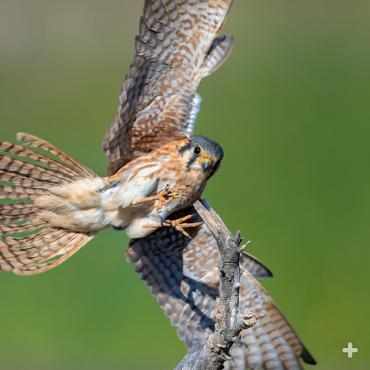 American kestrels are fierce little hunters. From a perch, they swoop in taking insects and other small prey in open areas.