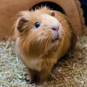 Many people may recognize the domestic guinea pig, as it is a popular pet.