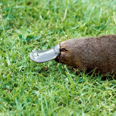 The platypus is a semi-aquatic egg-laying mammal endemic to eastern Australia, including Tasmania.