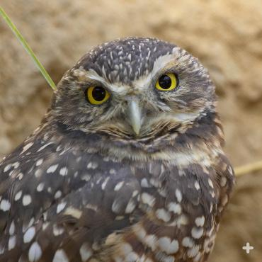 The ground-loving burrowing owl blends in well with the landscape (usually).