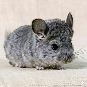 Chinchilla litter size is small, usually consisting of two babies, but can reach up to six. Mothers are very protective of their little ones.