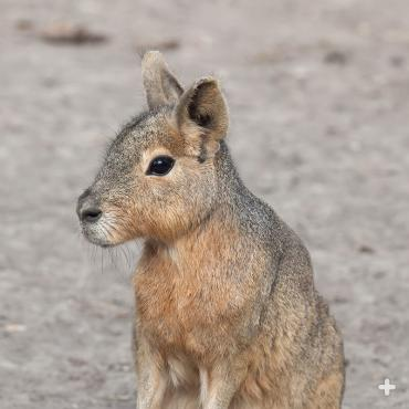 Patagonian mara, also known as a cavy, are long-legged rodents with a body that resembles a small deer.  It is an herbivore.