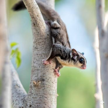 Sugar gliders are agile climbers!