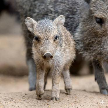 Chacoan peccary piglet.