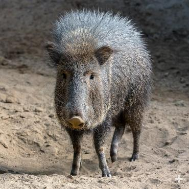 Adult Chacoan peccary.