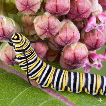 Monarch butterfly caterpillar on a narrow-leaf milkweed plant. Narrow-leaf milkweed (Asclepias fascicularis) is a California native species.