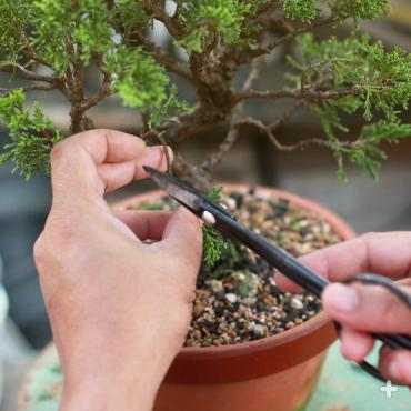 A hobbyist trimming a bonsai.