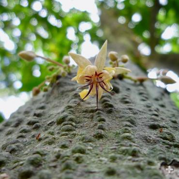 Cacao flower.