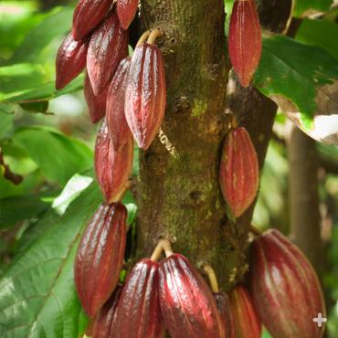 Cacao pods growing on the tree.