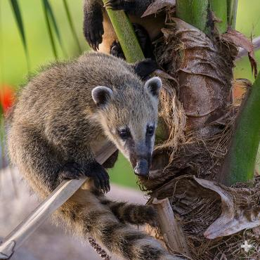 Coati youngsters.