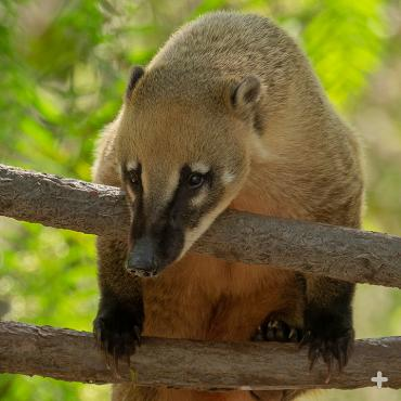 Coati on two branches.