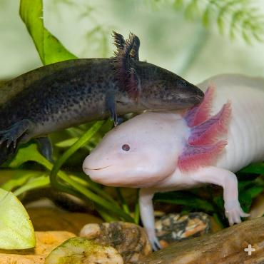 Axolotl's are naturally gray in color, though pink axolotls have been bred for the pet trade.