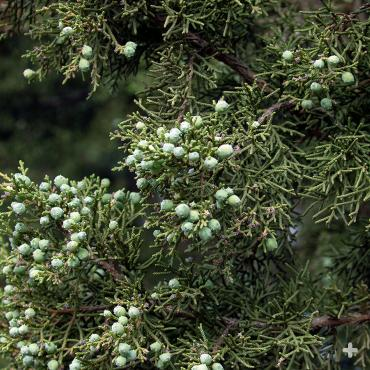 California Juniper berries.
