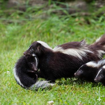 Skunks have multiple young, as few will survive to adulthood.