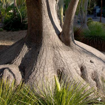 The large base, or caudex, of a ponytail palm can grow quite large. One located in the San Diego Zoo's Beaucarnea forest at Elephant Odyssey is 10 feet wide.