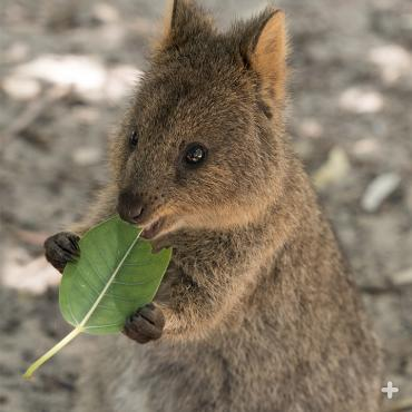 Quokka get their greens!
