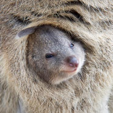 As marsupials, quokka tote their young for several months in a secure pouch.