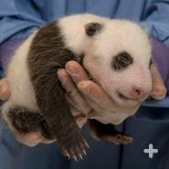 While this baby giant panda is small, newborns are remarkably tiny: they are born hairless and about the size of a stick of butter.