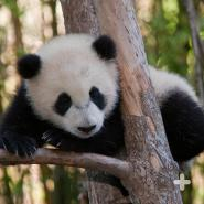 Giant pandas are very vocal animals. Young cubs are known to squeal and croak, while older pandas may bleat, honk, huff, bark, and/or growl.
