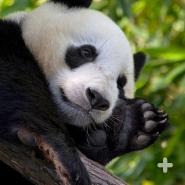 Giant pandas are solitary creatures and except for during the short mating season and times when mothers are raising cubs, they prefer to live alone.