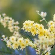 Australia's black wattle acacia—one of the most invasive species in the world.
