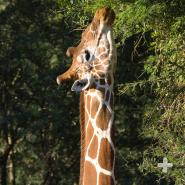 A giraffe's prehensile tongue and lips are adapted for reaching around the sharp thorns of acacia branches and grasping the leaves.