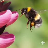 Bumblebees feed on nectar (like honeybees) and use their long, hairy tongue to lap up the ambrosia.