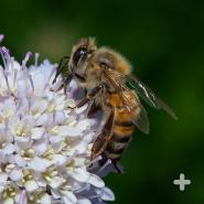 Honeybees are social insects that live in a strict social order: queens, drones, and workers.