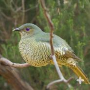 "Female satin bowerbirds choose their mate based on his ""home decor"" talents."