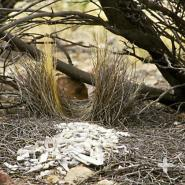 A western bowerbird's avenue-style bower is decorated with bone fragments, snail shells, and pebbles.