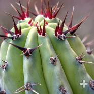 Sharp spines of a cochal cactus