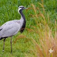 Demoiselle cranes move from breeding grounds in Asia or Eastern Europe to wintering grounds in India or North Africa.