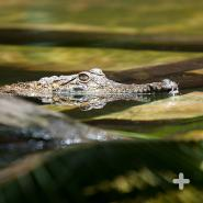 Crocodilians like this Johnston's crocodile (or Australian freshwater croc) have keen eyesight above water. Their eyes are placed on top of their head, so they can spot prey as they move through the water.