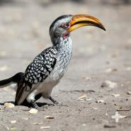 Native to Africa, the yellow-billed hornbill is instantly recognizable—thanks to its long, curved bill.