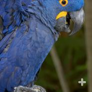Most macaws start out with gray or black eyes when they're young, which change to brown or yellow as they mature.