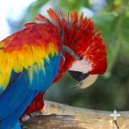 Macaws can frequently be seen preening their feathers, as this scarlet macaw is doing.