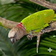 The hawk-headed parrot, native to the Amazon rain forest, can raise its neck feathers to create a fan that makes it appear larger.