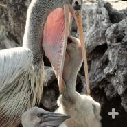 The pink-backed pelican, shown feeding its chicks, is native to Africa.