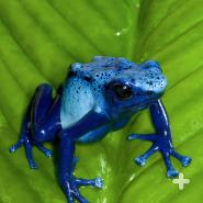Thousands of blue poison frogs have been smuggled into pet shops all over the world, causing a swift decline in the wild population.