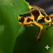 Poison frogs are usually mature at about a year and can live 8 to 15 years, depending on the species.