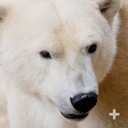The polar bear's nose is so powerful it can smell a seal on the ice 20 miles (32 kilometers) away.