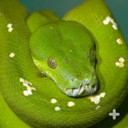The green tree python's emerald color helps it blend in with the vegetation of its habitat.