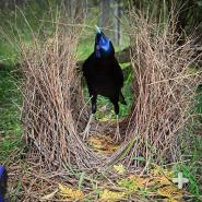 This satin bowerbird male waits to show off his swanky bower.