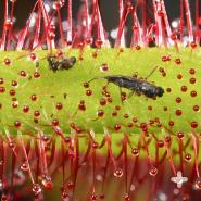 Close-up of flies trapped on a sundew