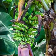 Young banana fruits growing above bloom.