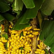 Yellow bananas growing on a tree in Thailand.