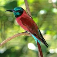 Carmine bee-eaters have been known to hitch a ride atop other animals to search for insects.