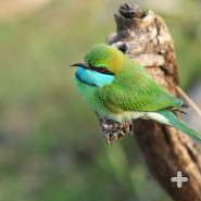 The little green bee-eater is widely distributed across sub-Saharan Africa.